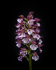 Lady orchid- Orchis purpurea (loveexploring) Tags: aude france ladyorchid orchidaceae sentiercathare southwestfrance blackbackground flower macro orchid orchis orchispurpurea plant purple wildflower