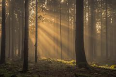 forest series #105 (Stefan A. Schmidt) Tags: warstein nordrheinwestfalen deutschland de penrtaxart forest tree trees sunlight sun sunbeam golden hour