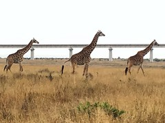 Standard Giraffe Railway (Rachel Strohm) Tags: africa kenya nairobi wildlife giraffes nairobinationalpark nationapark safari