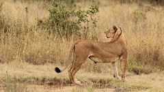 Turn around (Nagarjun) Tags: lioness nairobinationalpark kenya eastafrica wildlife carnivore bigcat bigfive female safari gamedrive