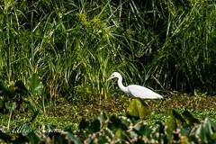 Little blue heron (mayekarulhas) Tags: