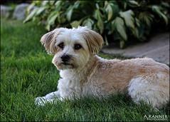 My Little Buster... (angelakanner) Tags: canon70d helios442 dog pet loveable morkie garden longisland