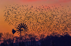 Silhouette of Starlings (Coless66) Tags: beautiful starlings birds hamwall marshes birthday december love sunrise red redskies memories thousands perfect spectacular mornings canon7d 100400l lizcolesphotography moments lookingback landscape breathtaking murmeration flight silhouette roost flock happytimes celebration trees dawn earlymorning