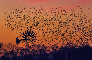 Silhouette of Starlings