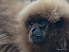 Lar Gibbon (JKmedia) Tags: chesterzoo primates animals captive 2018 sonyrx10iii lar gibbon hylobatidae face furry closeup