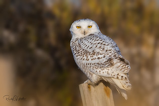 Snowy Owls of New Jersey | 2017 - 41