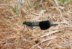 Banded Demoiselle (Mama_Kin) Tags: dragonfly dragonflies damselfly damselflies odonata zygoptera