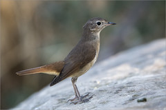 Luscinia megarhynchos (Francesc //*//) Tags: animal aus aves au ave estimaocells vallbonadelesmonges natura naturaleza nature bird pájaro ocell lusciniamegarhynchos rossinyol ruiseñorcomún nightingale commonnightingale rossignolphilomèle