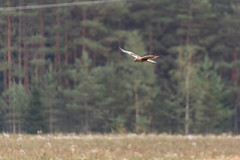 Nendrinė lingė / Circus aeruginosus / Marsh Harrier (Jonas Juodišius) Tags: jankovicai trakai lietuva lithuania nendrinėlingė circusaeruginosus marshharrier