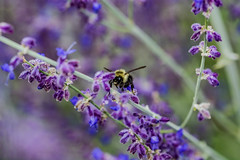 2018 - phot 255 of 365 - honey bee on lavender (old_hippy1948) Tags: