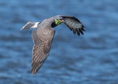 Snail Kite (PeterBrannon) Tags: bird florida kite nature raptor rostrhamussociabilis snailkite talons wildlife birdinflight