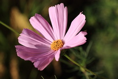 IMG_1646M Cosmos (陳炯垣) Tags: bloomin floral petal flower cosmos nature