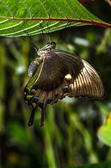 Hanging around. (berenice29) Tags: butterfly butterflyworld prestonpark stocktonontees tropical nikond7000