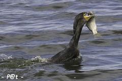 Cormoran 2018-2 (Patoche50440) Tags: spatule râle deau cormoran pêche barge héron limicole