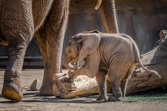Taking His Bows (helenehoffman) Tags: mammalg mother elephant conservationstatusvulnerable africansavannaelephant sandiegozoosafaripark motherandchild calf africanbushelephant animal loxodontaafricana