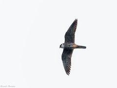 EM162080_DxO.jpg (riccardof55) Tags: uccelli birdwatching lodolaio parpari