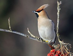 Beccofrusone (silvano fabris) Tags: canon nature photonature wildlife animals animali uccelli birds beccofrusone