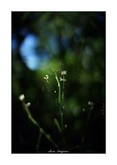 2018/8/14 - 8/18 photo by shin ikegami. - SONY ILCE‑7M2 / 七工匠  7artisans 50mm f1.1 (shin ikegami) Tags: flower 花 macro マクロ 井の頭公園 吉祥寺 summer 夏 asia sony ilce7m2 sonyilce7m2 a7ii 50mm 七工匠 7artisans 7artisans50mmf11 tokyo photo photographer 単焦点 iso800 ndfilter light shadow 自然 nature 玉ボケ bokeh depthoffield naturephotography art photography japan earth