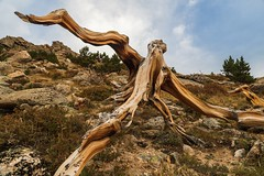 Remnants of a Bristlecone Pine Tree. (mnryno) Tags: abstract alpine colorado mountains bark pine bristlecone tree
