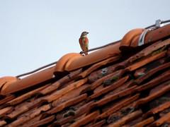 Rundale '18 (faun070) Tags: bird wildlife latvia commonlinnet linariacannabina