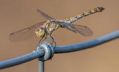 Mosaikjungfer (KaAuenwasser) Tags: mosaikjungfer libelle insekt draht wiese natur spätsommer wild wildnis makro