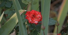 Rosie The Rose (Scott 97006) Tags: rose bloom plant nature red pretty flower