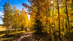 Gold Hill road Aspens blasted with Autumn gold (dperkphoto) Tags: autumn fall utah uintahs aspens