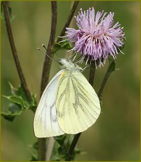 Green-veined White - nectaring on thistles