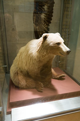 Spirit bear (quinet) Tags: 2017 aborigène canada firstnations indian kunst ontario prepäratoren rom royalontariomuseum toronto ureinwohner aboriginal art empaillage museum musée native taxidermy