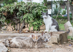 2018/07/08 19h17 chats de la rue Sefrou (Rabat) (Valéry Hugotte) Tags: 24105 maroc rabat canon canon5d canon5dmarkiv cat chat chaton gatos katze kitten quartierhassan ruesefrou rabatsalékénitra ma