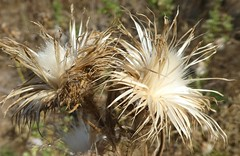flowers on thistle dried (treenquick) Tags: seeds thistle dry autumn prickles white