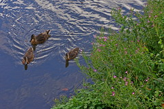 1496-16L (Lozarithm) Tags: calne wilts ducks canals wiltsberks pentax prime k5 55f14 smcpda55mmf14sdm