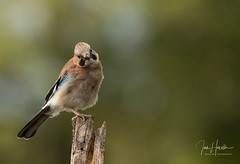 Jay (Ian howells wildlife photography) Tags: ianhowells ianhowellswildlifephotography nature nationalgeographic jay canon canonuk wildlife wildlifephotography wales wild wildbird wildbirds