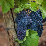 Blue Grapes in the vineyards thumbnail