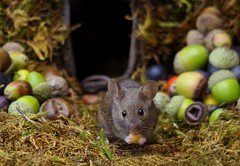 House mouse in a mossy hole with acorns and berry's (2) (Simon Dell Photography) Tags: wild garden house mouse nature animal cute funny fun moss covered log pile acorns nuts berries berrys fuit apple high detail rodent wildlife eye ears door home sheffield ul old english country s12 simon dell photography