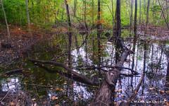 Slowly Drainng (mswan777) Tags: leaf scenic 1855mm nikkor d5100 nikon orange green hike stevensville michigan landscape outdoor nature trail wood tree flood water wet forest