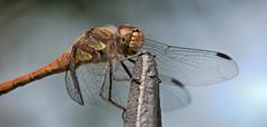 Meadowhawk (pe_ha45) Tags: meadowhawk heidelibelle sympetrum libelle libellule dragonfly