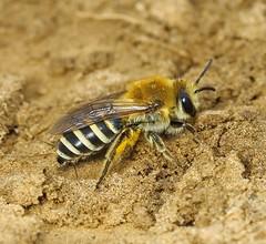 Sea-aster Mining Bee (Colletes halophilus) 4.9.2018 (1) (wildlifelover69) Tags: seaasterminingbee colleteshalophilus rspbframpton framptonmarsh boston lincolnshire 492018 bees