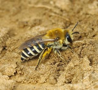 Sea-aster Mining Bee (Colletes halophilus) 4.9.2018 (1)