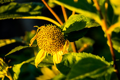 18-09-08 sonauf blü alt gelb bok nah dsc0246 (ulrich kracke (many thanks for more than 1 Mill vi) Tags: blütealt gelb nah textur