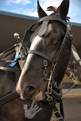 Just Checking (Scott 97006) Tags: horse harness eye nose cute