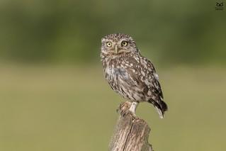 Mocho-galego, Little Owl (Athene noctua)