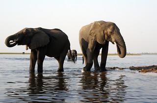 Chobe Riverfront Elephants