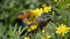 Small Copper (Nick:Wood) Tags: nature wildlife butterfly insect smallcopper lycaenaphlaeas cuttlepoolnaturereserve warwickshirewildlifetrust templebalsall