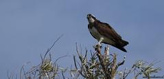Osprey @ the Biesbosch (gerardkanters.nl) Tags: osprey visarend biesbosch birdofprey