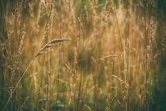 Whisp (flashfix) Tags: september162018 2018inphotos ottawa flashfix flashfixphotography ontario canada nikond7100 55mm300mm nature mothernature field dawn sunlight wheat grass soft morning sunrise