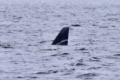 T19B slices through the water (sjr627) Tags: transient killer whales orcas biggs t18s southern gulf islands