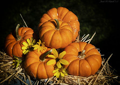 5 - On Deck (jmhutnik) Tags: pumpkins hay flowers orange stilllife september autumn deck morning