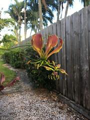 Gloriosa superba 2 (scott.zona) Tags: colchicaceae