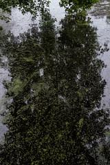 Wassenaar De Pauw (Bart van Damme) Tags: bartvandammephotography landgoeddepaauw studiovandammeartphotography thehague thenetherlands urbanphotography wassenaar zuidholland emailinfostudiovandammecom urbanlandscape depauwestate pond duckweed